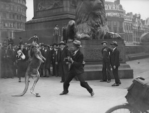 Fred Morley on the right takes on Aussie, the boxing kangaroo in London's Trafalgar Square, August 31, 1931